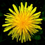 1024px-Top_view_of_a_dandelion